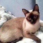 Сиамская порода кошек фото, характер, здоровье
