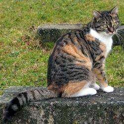 Пеструшка, самые умные кошки