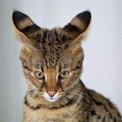 5 причин завести кошку породы Саванна