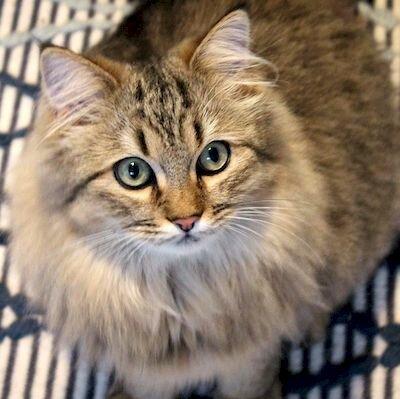 Норвежская лесная порода кошек описание фото характер самые популярные